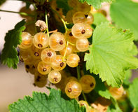 Ripe white currants Royalty Free Stock Photo