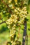 Ripe white grape cluster Stock Image