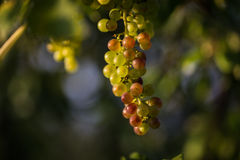 Ripe white grapes. A bunch of ripe white grapes royalty free stock images