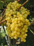 Ripe white grapes in an Italian Winery Stock Photos