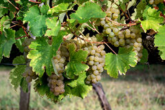 Ripe white grapes ready to be harvested Royalty Free Stock Images