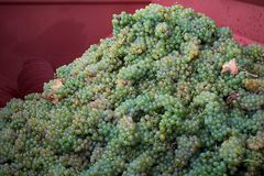 Ripe white grapes ready for wine-making process Royalty Free Stock Photography