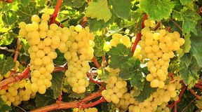 Ripe white grapes. On a vineyard on a sunny day stock photography