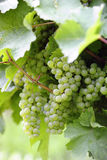 Ripe white Riesling grapes close-up Stock Photography