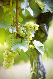 Ripe white Riesling grapes Royalty Free Stock Photos