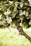 Ripe white Riesling grapes Stock Images
