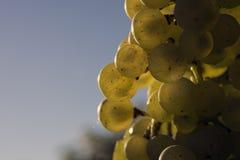 Ripe white vine grapes Royalty Free Stock Photo