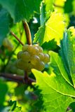 Ripe white wine grapes plants on vineyard in France, white ripe. Muscat grape new harvest close up stock photography