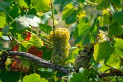 Ripe white wine grapes plants on vineyard in France, white ripe muscat grape new harvest. Close up royalty free stock image