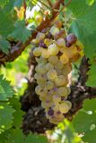 Ripe white wine grapes plants on vineyard in France, white ripe muscat grape new harvest. Close up stock photography
