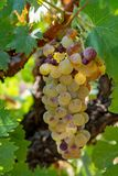 Ripe white wine grapes plants on vineyard in France, white ripe. Muscat grape new harvest close up royalty free stock image