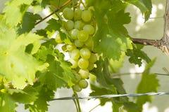 Ripe white wine grapes on vine Royalty Free Stock Image