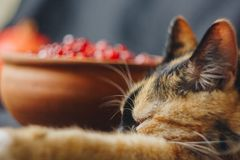 Ripe whole red pomegranate, pomegranate seeds in a ceramic bowl and a three-colored cat lying on a black cloth background, stock image