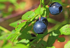 Ripe whortleberry Stock Photography