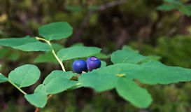 Ripe wild blueberries Stock Image