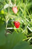 Ripe wild forest strawberries and some flowers on strawberry plant. Ripe wild forest strawberries and some flowers on strawberry bush Stock Photography