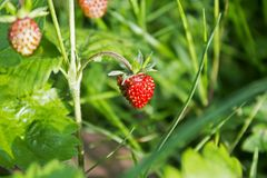 Ripe wild forest strawberries and some flowers on strawberry plant. Ripe wild forest strawberries and some flowers on strawberry bush Stock Images