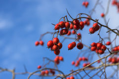 Ripe wild hawthorn. Close-up Stock Photography