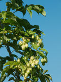 Ripe wild hops Royalty Free Stock Image