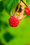 Ripe wild raspberries Stock Image