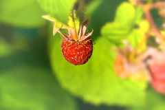 Ripe wild raspberries Royalty Free Stock Photos