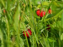 Ripe wild red strawberries between grass stock images