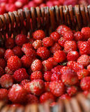 Ripe wild strawberries Royalty Free Stock Image