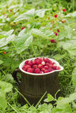 The ripe wild strawberries growing on the grass Stock Images