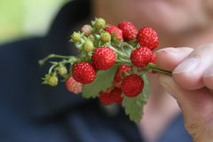 Ripe  wild strawberry. Bunch of ripe wild strawberry  in the hand Stock Photo