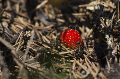 Ripe wild strawberry and ants Royalty Free Stock Image