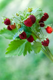 Ripe wild strawberry close-up Royalty Free Stock Image
