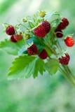 Ripe wild strawberry close-up Royalty Free Stock Image