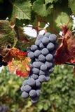 Ripe Wine Grapes. Ripe Grapes Ready for Harvest Stock Photo