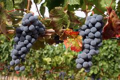 Ripe Wine Grapes. Ripe Grapes Ready for Harvest Stock Images