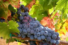 Ripe Wine Grapes Royalty Free Stock Photo