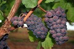 Ripe Wine Grapes. Ripe clusters of wine grapes illuminated my morning light Stock Photos