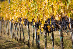 Ripe Wine Grapes. Ready For Harvest Royalty Free Stock Images
