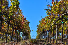 Ripe wine grapes hang on the vine in field Royalty Free Stock Photo
