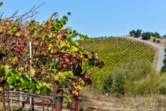 Ripe wine grapes hang on the vine in field Stock Photo