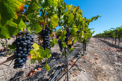 Ripe wine grapes hang on the vine in field Stock Photography