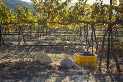 Ripe Wine Grapes In Harvest Bins One Fall Morning Stock Images