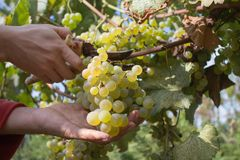 Ripe wine grapes and secateurs in farmer`s hands. Yellow-green bunch at the sunny ecological vineyards during harvest Royalty Free Stock Image