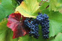 Ripe Wine Grapes on the Vine. Grapes for winemaking ripen on the vines stock image