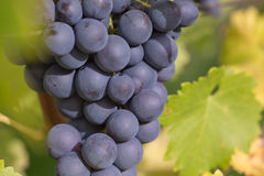 Ripe wine grapes on the vine. In autumn royalty free stock photo