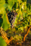 Ripe Wine Grapes. On the Vine in sunset Royalty Free Stock Photo