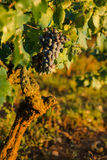 Ripe Wine Grapes. On the Vine in sunset Royalty Free Stock Photography