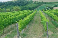 Ripe wine grapes on vines in Tuscany, Italy. Picturesque wine fa Royalty Free Stock Photo
