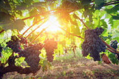 Ripe wine grapes on vines in Tuscany, Italy. Royalty Free Stock Images