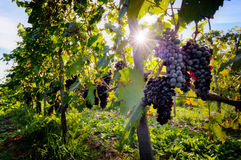 Ripe wine grapes on vines in Tuscany, Italy. Sun shining through leaves Stock Image