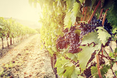 Ripe wine grapes on vines in Tuscany vineyard, Italy. Sun shining through leaves Royalty Free Stock Photo